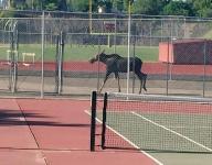 Moose on the loose at Spokane high school