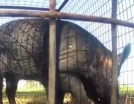 Hogs destroy high school football field in Houston