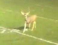 VIDEO: Deer interrupts Colorado football game