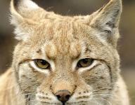 Flippin Lady Bobcats cruise past Lead Hill, 45-22