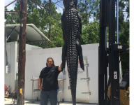 Fla. football player hauls in 12-and-a-half-foot alligator