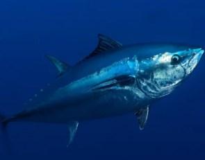 Mass. high school girls hockey player catches 700-lb tuna